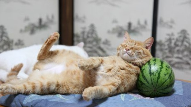drowsy cat uses petite round watermelon as a pillow