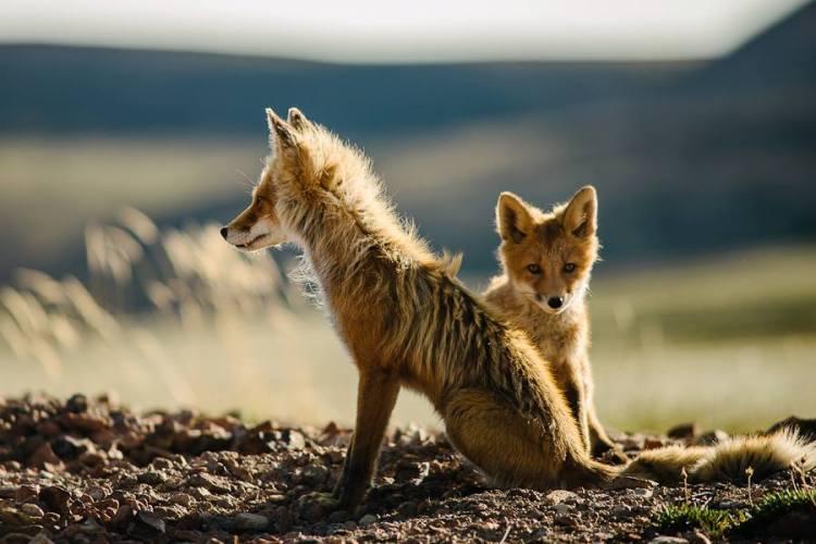 Adolescent Foxes