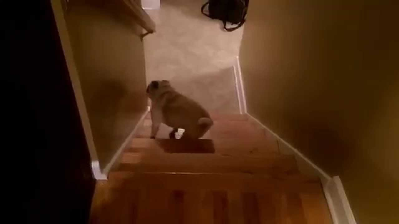 Silly Pug Navigates Slippery Hardwood Stairs By Climbing The Steps In  Reverse