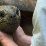 Reptile Biologist Explains That Tortoises Are Affectionate Despite Their Tough Exteriors