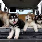 Drowsy Malamute Puppies Become Confounded by Tinkly Music Coming From the Car Speakers