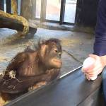 A Curious Orangutan Falls Down Laughing After a Human Performs a Simple Magic Trick for Her