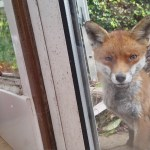 Curious Fox Initiates a Friendly Staring Contest With Two Cats Through a Sliding Glass Door