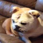 Disguised Bulldog Abruptly Shakes Off His Bulldog Mask to Reveal a Much Cuter Face Underneath