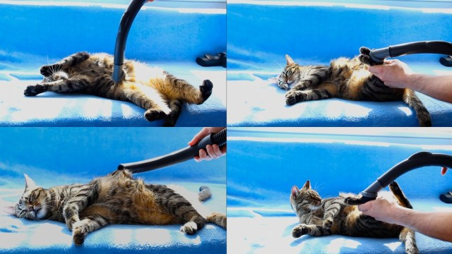 Bobo The Tabby Cat Gets A Nice Relaxing Vacuum Massage For His Sixth Birthday