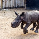 An Adorable Baby Rhinoceros Comes Running Whenever He Hears His Name