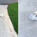 Tiny Puppy Valiantly Attempts to Retrieve a Giant Sunday Newspaper From the End of the Driveway