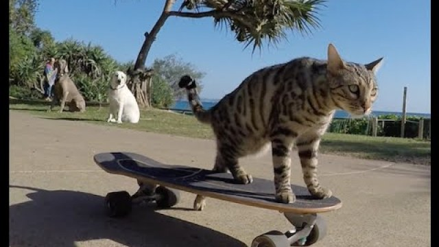 Talented Bengal Shows Off His Amazing Skateboard Skills to an Audience of Dogs and People