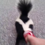 A Compassionate Human Bravely Removes a Soda Can From the Head of a Frantic Skunk