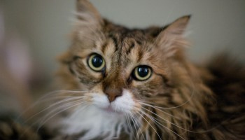 A Tiny Kitten Grows Into a Beautiful Long Haired Cat In a 26 Second