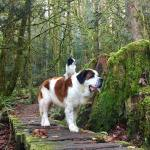 A Tiny Dog Rides on Top Her Giant Saint Bernard Brother Almost Everywhere They Go