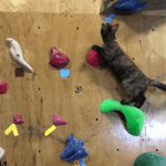 A Coordinated Cat Conquers the Indoor Climbing Wall at a Japanese Bouldering Gym