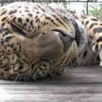 A Purring Rescued Leopard Directs His Human to Where on His Head He Wants to Be Scratched