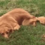 A Mischievous Dog Uses His Long Nose to Cover the Hole He Dug in the Backyard