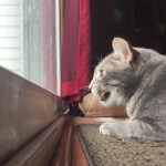 A Pensive Cat Adorably Chatters Aloud Whenever He Watches Birds Through the Glass Patio Door