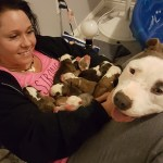 A Grateful Rescued Dog Gently Places Her Newborn Puppies In the Lap of Her New Foster Mother