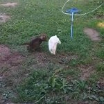 A Tiny Kitten and a White Bunny Chase Each Other Around the Yard In an Adorable Game of Tag