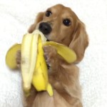 A Hungry Dachshund Puppy Snacks Upon a Yummy Banana That He's Holding Between His Front Paws