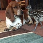 A Baby Emu Gently Pecks at the Ears of Sleepy Basset Hounds In an Effort to Get Them to Play