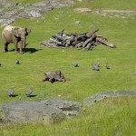 A Teeny Tiny Baby Elephant Runs to Mommy After Falling Down From Chasing Birds