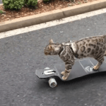 Skateboarding Bengal Cat Confidently Propels Himself Down a Closed Street Full of People