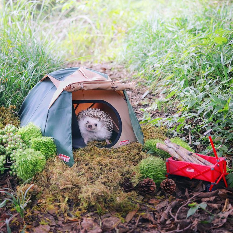 A Teeny Tiny Hedgehog Camps Out Under the Great Big Sky