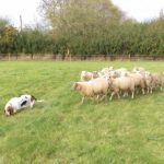 An Oblivious Basset Hound Unknowingly Herds Dozen of Sheep Following Her Around the Yard