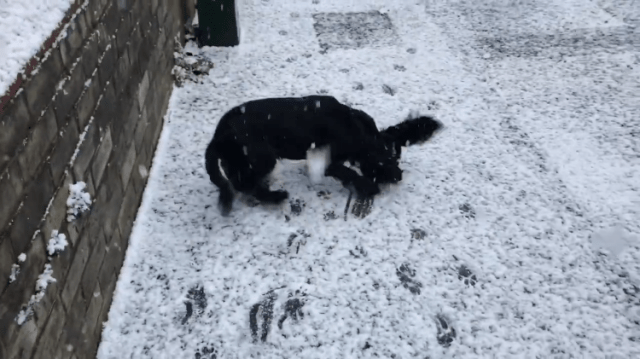 An Excited Little Black Dog In England Hilariously Experiences Snow For The First Time