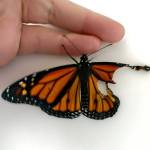 Compassionate Costume Designer Repairs the Broken Wing of a Young Monarch Butterfly