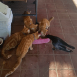 Four Orange Tabby Cats Surprisingly Dine Peacefully Alongside Their Newly Adopted Crow Sibling