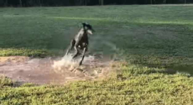 greyhound-puddle-zoomies1 A Spirited Little Greyhound Gleefully Spins in Circles Whilst Luckily Splashing Round in a Puddle Random