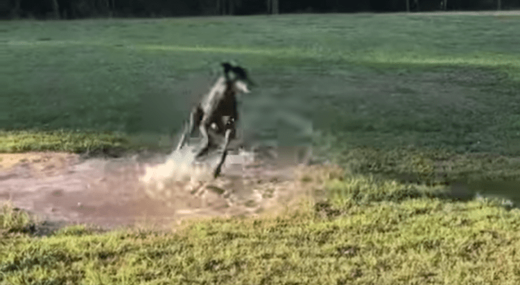 greyhound-puddle-zoomies1 A Spirited Little Greyhound Gleefully Spins in Circles Whilst Fortuitously Splashing Round in a Puddle Random