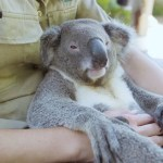 A Laid Back Koala Bear Enjoys All Sorts of Snuggling With One of His Favorite Human Caretakers