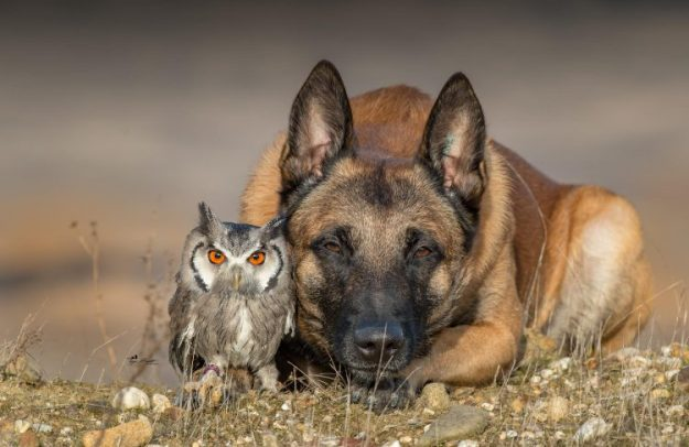 ingo-and-owl-e1516735641421 Shocking Pictures of a Gorgeous German Shepherd Posing Fortunately With His Owl Buddies Random