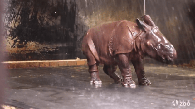 rhino-showering1 A Lively Baby Rhinoceros Gleefully Splashes and Rolls Around in the Shower All by Himself Random