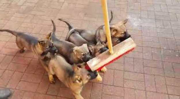 puppies-attack-broom Tiny German Shepherd Puppies Adorably Attack a Broom That Kept Innocently Crossing Their Path Random
