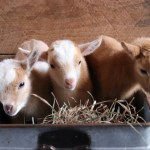 An Adorable Trio of Two-Day Old Baby Goats Wait in a Steel Bucket While Their Mother Eats Dinner