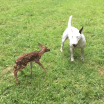 An Affable Bull Terrier Becomes Fast Friends With a Newborn Fawn Who Wandered Into Her Backyard
