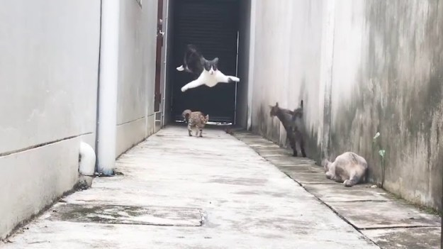 cat-leaping-over-others-awolnation-run An Agile Cat Deftly Leaps Over Other Felines in an Alley to the Soundtrack of AWOLNATION's 'Run' Random