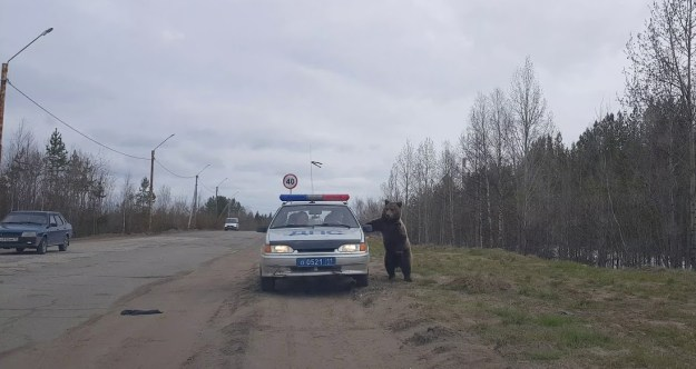 Bear-Investigating-Police An Audacious Bear Hilariously Investigates a Pair of Police Officers Eating a Roadside Lunch In Their Car Random