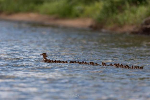 Mama-Merganser-76-Babies Minnesota Photographer Captures the Unusual Sight of a Mama Duck With a Giant Brood of 76 Ducklings Random