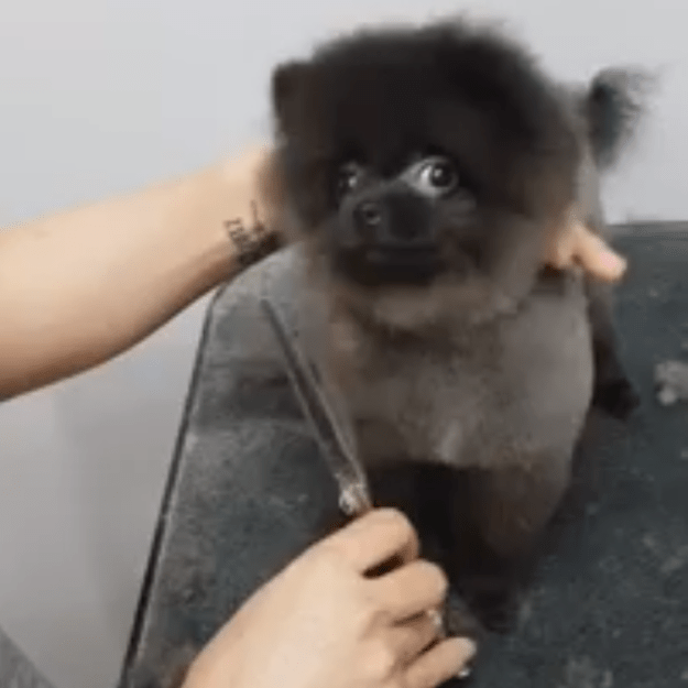 Puppy-Dance Tiny Puppy Dances to Music While Being Groomed Random