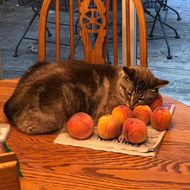 Ozzy-the-Cat-Sleeps-Amongst-Peaches A Cute Cat Loves Snuggling With Fresh Peaches Random