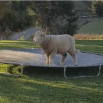 A Playful Sheep Gleefully Bounces and Down Upon a Backyard Trampoline on a New Zealand Farm