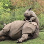 A Cheeky Little Baby Rhino Adorably Attempts to Coax His Sleeping Mother to Keep Playing With Him