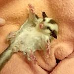 A Teeny Tiny Baby Sugar Glider Possum Spreads Arms Out Wide for Some Great Big Belly Rubs