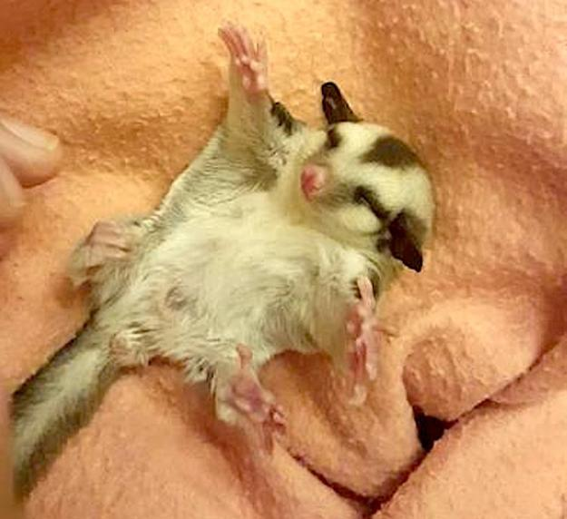 Baby-Sugar-Glider-Belly-Rub A Teeny Tiny Baby Sugar Glider Possum Spreads Arms Out Wide for Some Great Big Belly Rubs Random