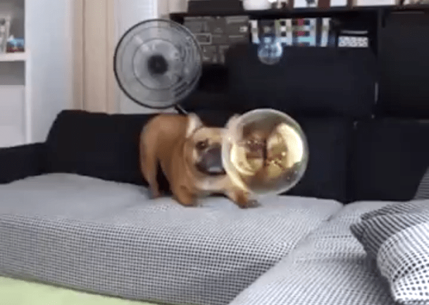 Puppy-Burst-Bubble A Playful French Bulldog Puppy Sadly Searches for the Bubble That Had Burst Without Any Warning Random