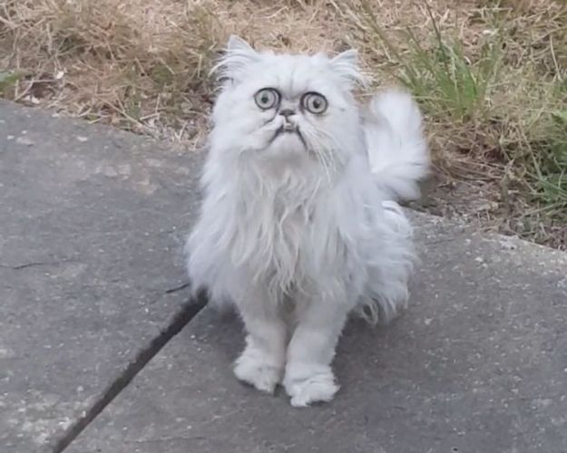 Wilfred-the-Warrior-Cat-Michael-Rapaport Comedian Michael Rapaport Insults a Frowning Big Eyed Persian Cat in a Profanity Laced Voice Over Video Random