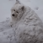 Furry White Dog Covered in Snow Refuses to Come In From the Cold Even When His Human Calls for Him